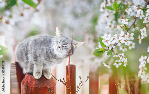 Obraz portrait of a cute striped cat sitting in a may Sunny garden under cherry branches with white flowers - fototapety do salonu