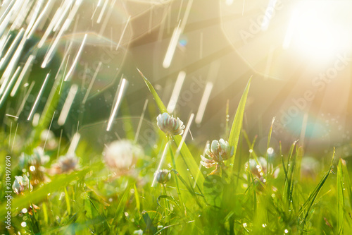 Fotomural  Beautiful natural background with clover, sun and raindrops
