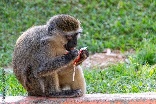 Vászonkép Vervet monkey (Chlorocebus pygerythrus) eating a discarded sweet lollipop