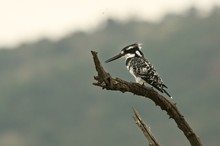 Pied Kingfisher (Ceryle Rudis)...