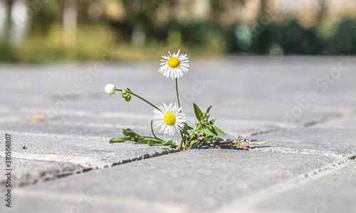 Fototapeta Plant weeds between paving tiles obraz