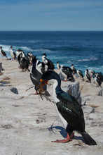 Imperial Shag (Phalacrocorax Atriceps Albiventer) Carrying Seaweed To Be Used As Nesting Material On Sea Lion Island In The Falkland Islands