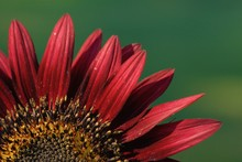 Close Up Of Red Sunflower Petals In Bright Sunlight