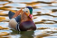 Closeup Of Male Mandarin Duck ...