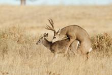 Deer Having Sex In A Field