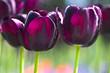 Schwarze Tulpen