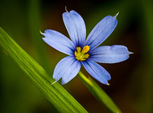 Blue-eyed Grass Blossom (Sisyrinchium Montanum) In Central Virginia. Not A Species Of Grass But Rather In The Iris Family.
