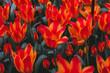 Stunning field of orange tulips in park in the Netherlands