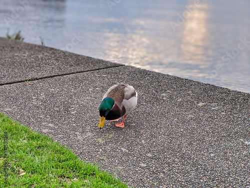 Hungry green and brow duck searching for crumbs of food on a walking path in a p Canvas Print