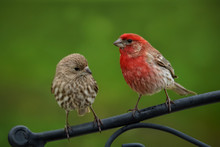 Male And Female House Finch Cl...