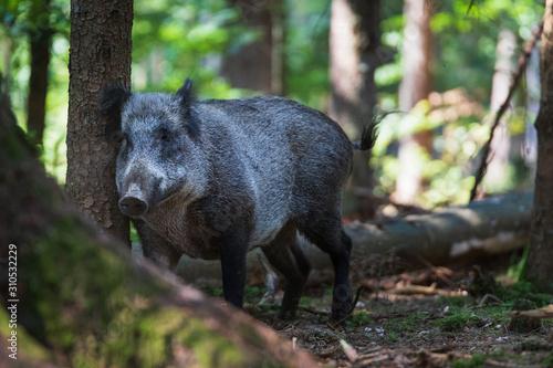 Photo Wildschwein reibt sich an einem Baum