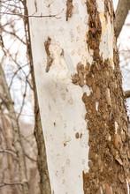 Peeling Bark On Birch Tree Tru...