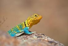 Eastern Collared Lizard ... Th...