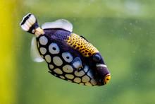Clown Triggerfish In Aquarium, Blurred Background