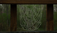 Spiderwebs Covered With Dew In...