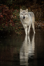 Wolf Reflection At The Pond Tr...