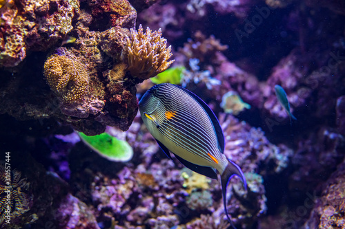 Fototapety, obrazy: Colorful coral reef with tropical Sohal surgeonfish