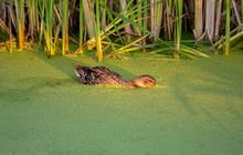 Duck Eating Green Algae In Golden Light