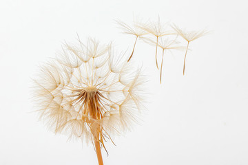 Panel Szklany Podświetlane Dmuchawce dandelion and its flying seeds on a white background