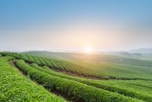 Tea Plantation In Early Morning