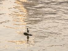 Black Crowned Night Heron Standing On A Rock