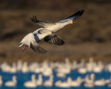 Pair Of Snow Geese Taking Off At Bosque Del Apache National Wildlife Refuge