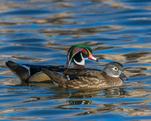 Wood Duck Pair In The Water