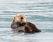 Sea Otter In Alaska Near Valdez