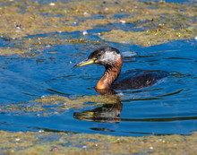 Red-necked Grebe Swimming