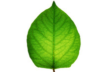 A Sinewy Green Leaf Isolated O...