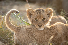 Small African Lion Cub, Kruger...