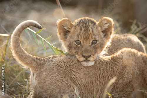 Photo Small African Lion cub, Kruger Park, South Africa