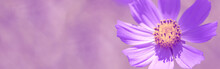 Purple Beautiful Flower On A Beautiful Toned Blurred Background, Border. Delicate Floral Background, Selective Soft Focus. Spring Flower Banner.