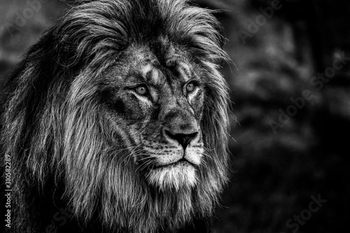 Fototapety, obrazy: Portrait of a lion in black and white