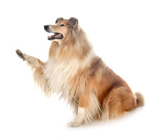 Rough Collie In Studio