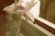 white flower of Christmas Cactus on the window