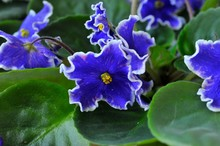 Saintpaulia (African Violets) Flower In The Pot Close Up.