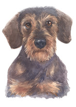 Water Colour Painting Of Miniature Dachshund 103