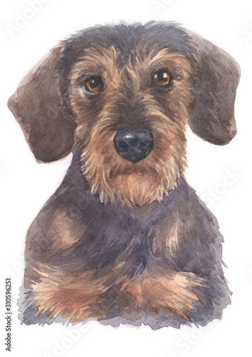 Water colour painting of Miniature Dachshund 103 Canvas Print