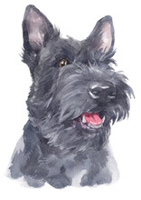 Water Colour Painting Of Scottish Terrier 114