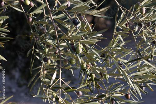 Aceitunas, aceites de oliva virgen extra, cosecha en plena recolección, época de sulfatos tras la producción Canvas Print