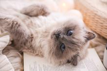 Birman Cat And Book On Rug At Home, Closeup. Cute Pet