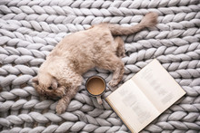 Birman Cat, Book And Cup Of Drink On Knitted Blanket At Home, Above View. Cute Pet