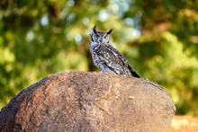 Spotted Eagle-owl, Bubo Africanus, Perched On A Granit Rock, Staring Directly At Camera By Yellow Eyes. Wild Owl Against Green Background, Wildlife Photography In Lake Chivero, Zimbabwe.