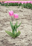 Fototapeta Tulipany - Blooming tulip bulbs growing apart from the group