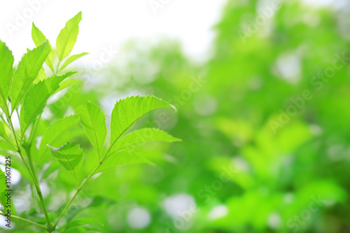 Fresh green nature tree leaves on blurred background in the morning sunlight. Natural background with copy space. - 310617225