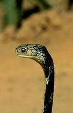 Kingcobra At Patia, Bhubaneswa...