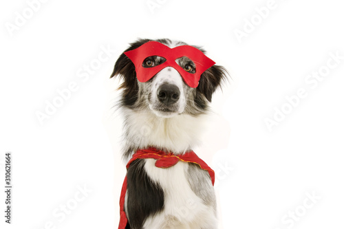 funny border collie dog carnival, halloween party dressed as a hero with red cape and mask Wallpaper Mural