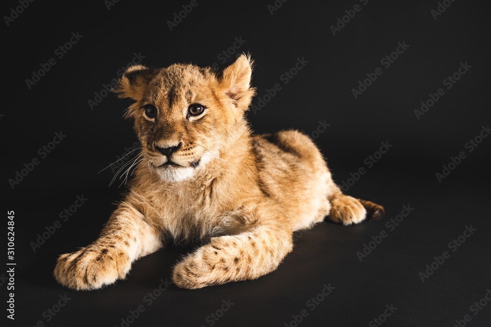 Fototapeta adorable lion cub lying isolated on black