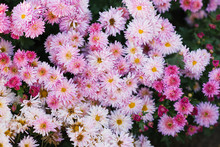 Pink Blossomed Chrysanthemums Autumn In The Garden